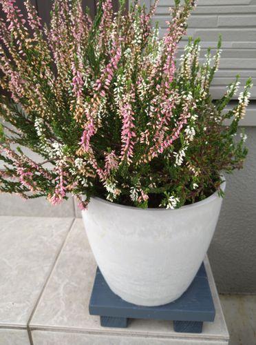 何年も植えたままの植物に、最近花が咲きました。 名前や植替え...
