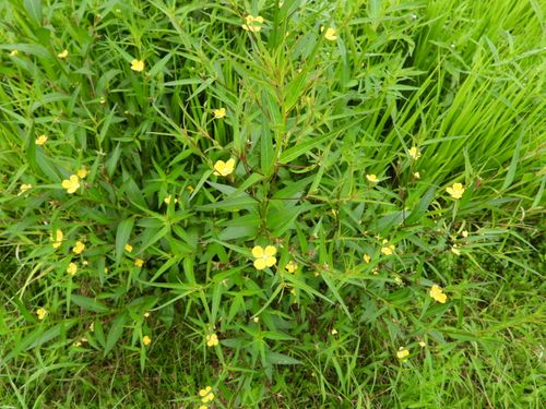 水田に生えていた雑草です。 草丈は大きいもので70cmほど。...
