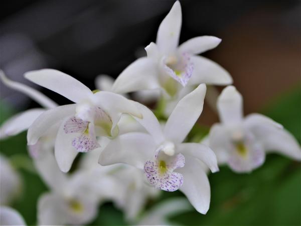 スペシオキンギアナム 2/5 小さなお花なのでアップで撮りました。 表情がよくわかりま