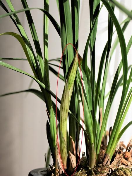 中国春蘭'金明' 2/5 花茎が伸びてきました。 2年ぶりにお花が見れそうです。