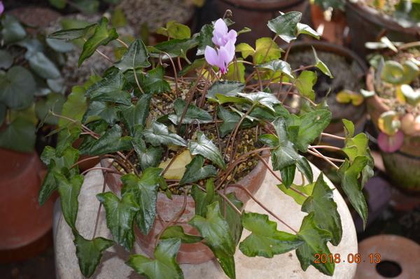 このヘデリも以前から咲いてるのですが、今後どうなるのか写真を残したいと思います。