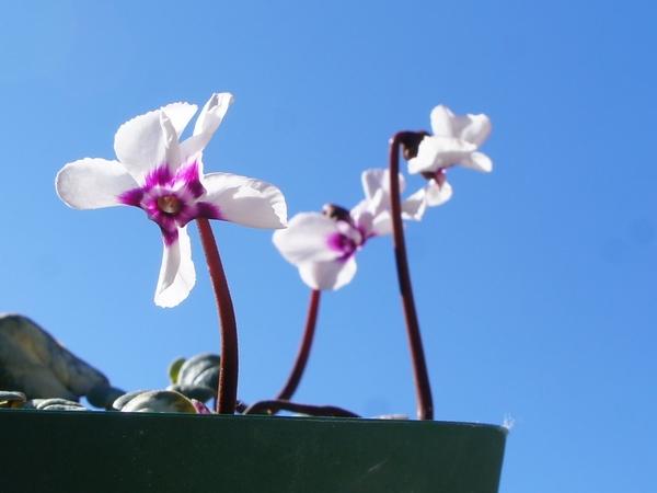 2/6 原種シクラメンコーム シルバーリーフの白花