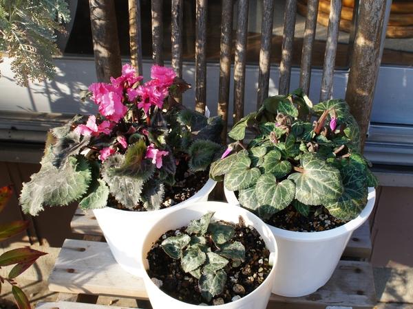 2/26 夏越しシクラメン2鉢目が開花間近です。