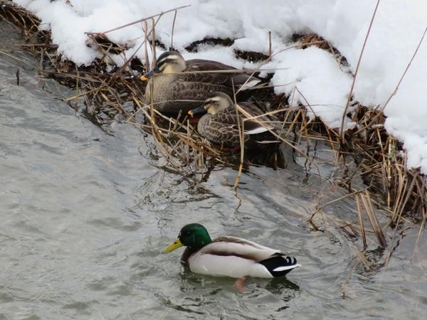 家の裏の川に お客さま 1月3日  マガモ様が 視察 ⁉️
