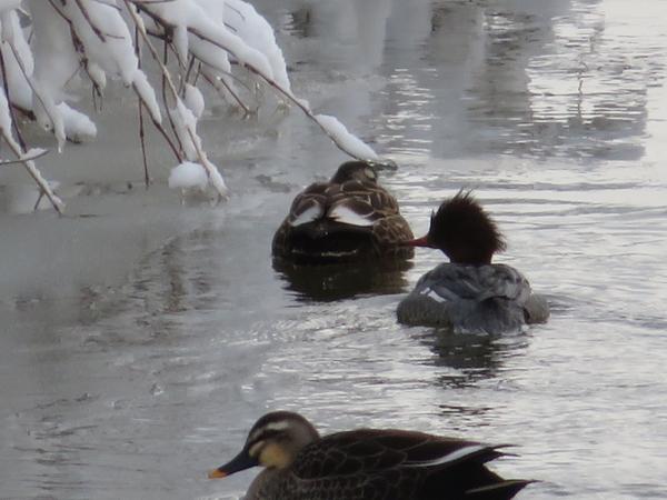 家の裏の川に お客さま  2月6日  潜水系の 鴨サンのようですが ~。