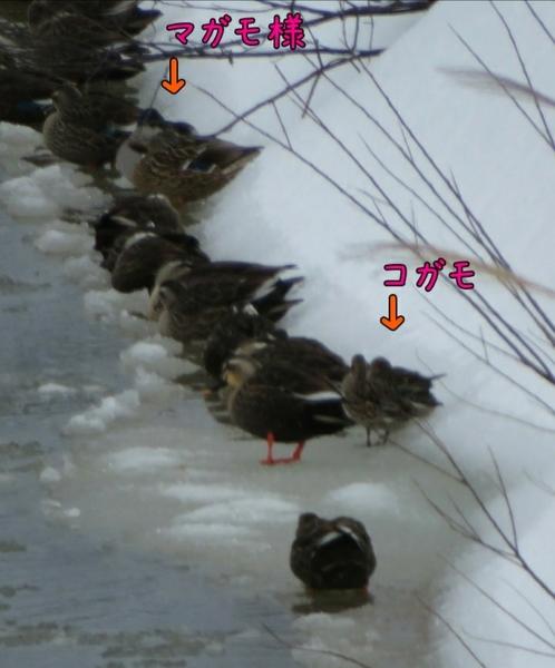 家の裏の川に お客さま  1日25日  マガモ様、奥様も ⁉️  コガモ様も ('-'*)♪
