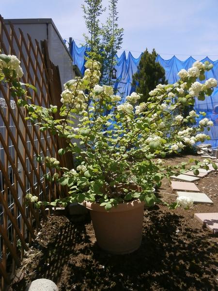 2017年5月に咲きました、コデマリの木です。近所の人から数年前に挿し木を頂き半信半