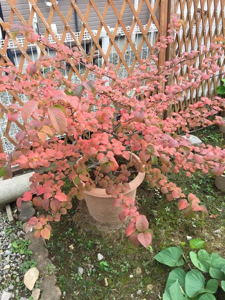 2017年9月27日   我が家庭のコデマリの木の紅葉🍁の様子です。毎年いい時期を見逃して