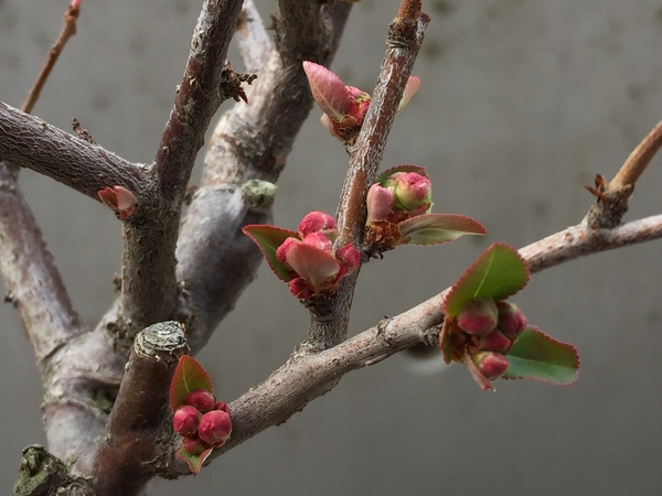 2018年2月4日我が家で大切に育てている花木でバラ科の「ボケ」の蕾みの様子です。長野