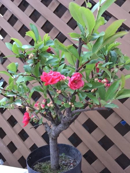 2018年3月29日我が家で育てている花木の「ボケ」がやっと開花しました。前回2月4日にU