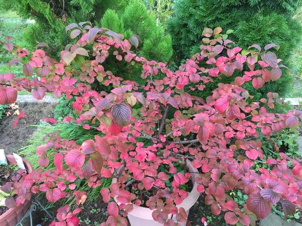 2018年9月30日我が家の庭にあるコデマリの木の紅葉の様子です。今年は昨年に比べて色