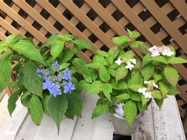 2019年6月23日(日曜日)我が家の山アジサイが咲き始めていますよ。 右側の写真は山ア