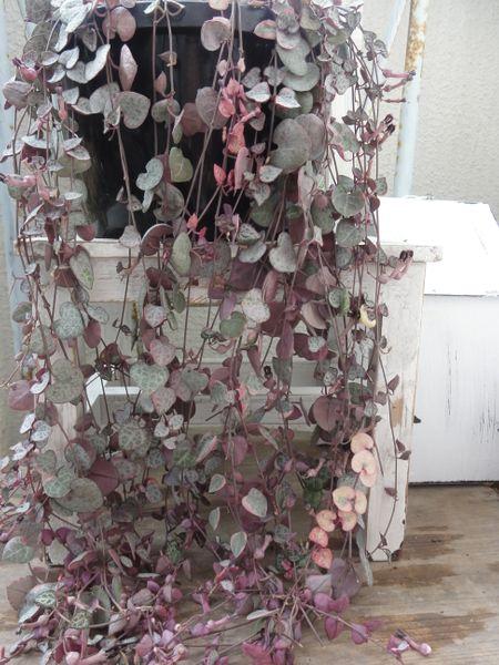 ハートカズラのユニークなお花 ハート型の葉が可愛い、ブチェーンとも呼ばれています