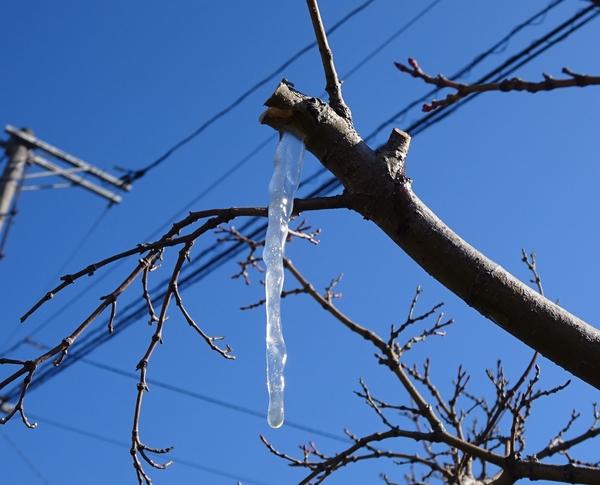 続く寒波で、モミジの枝先につららが。 2018年2月5日。
