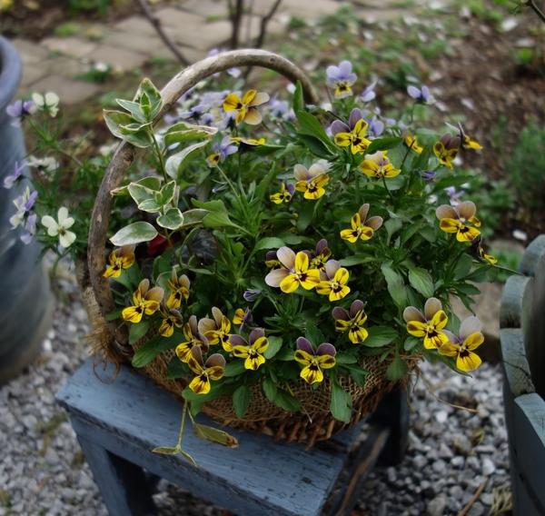 冬に作った寄せ植え。うさぎ耳タイプのビオラ。