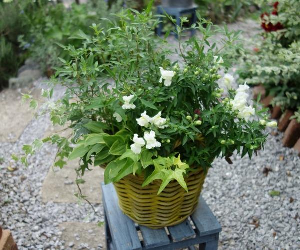 キンギョソウの白をメインに、葉っぱが主役のさわやかな寄せ植え。かじられているギボ