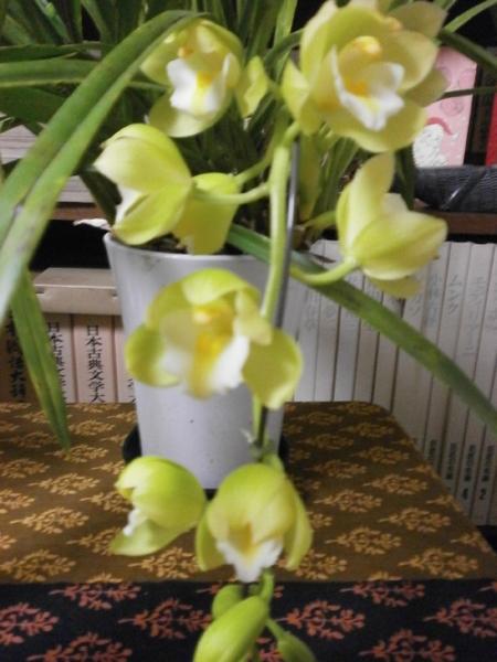 2018年2月7日プチサワー'キロロ' 去年は花茎が伸びなくて団子状態でしたが、今