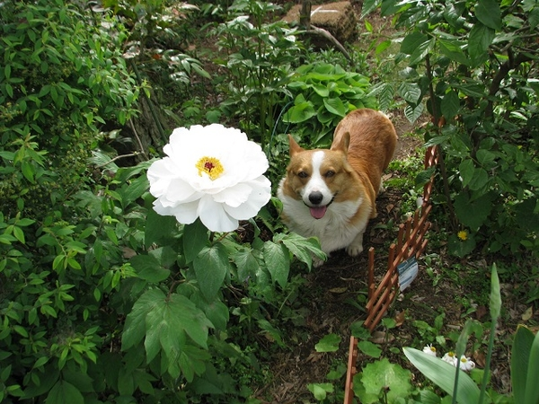愛犬とボタンです。思い出の写真です。