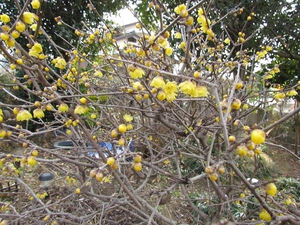 ロウバイがようやく3分咲き位になりました。 今年の冬は冷えが厳しいです。 庭木の花