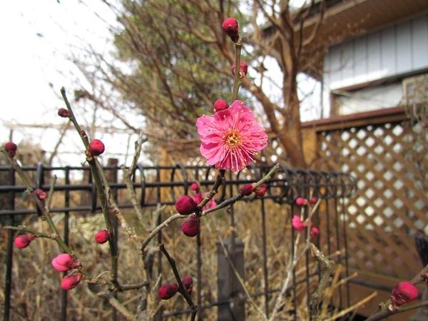 濃いピンクの紅梅が開花しました。鉢植えです。 庭木の紅梅はまだです。