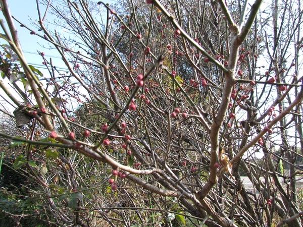 南高梅の蕾が膨らんできました。