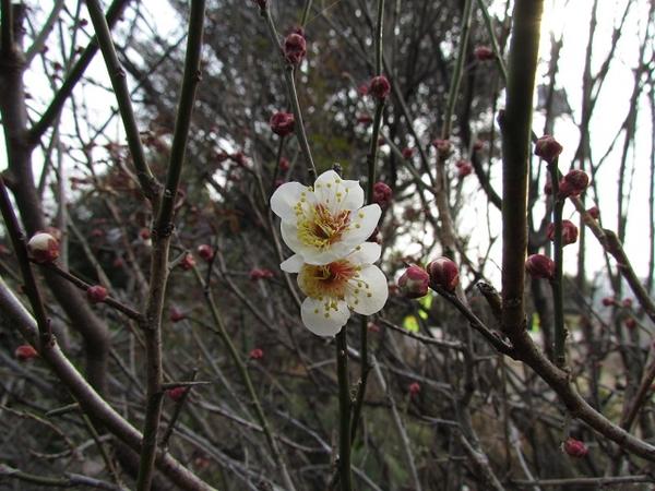 南高梅の花も開花です。