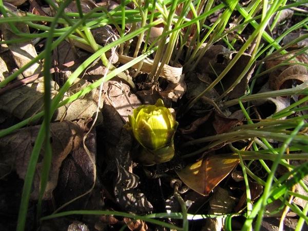 今日は立春。春を待つ福寿草の蕾も大きくなりました。