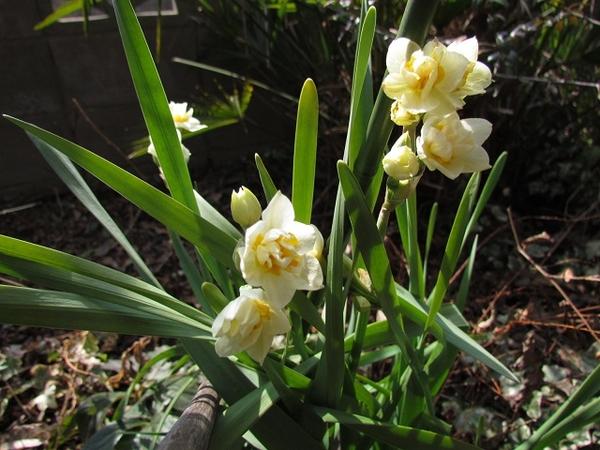 八重咲の水仙が3日前に開花です。
