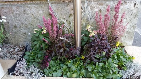 2018.2.9 プチプチ花壇。キンギョソウブロンズドラゴン一部をあわゆきえりかプリティー