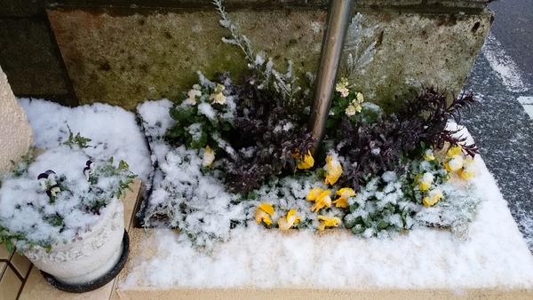 2018.2.9 プチプチ花壇。1/22雪が積もっています。👀!