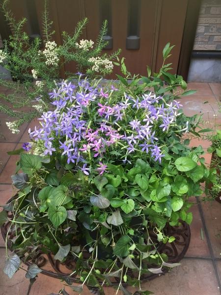 春先の寄せ植えのリニューアルしました。  イソトマ、スミレ、ライスクラッカー、姫ウ