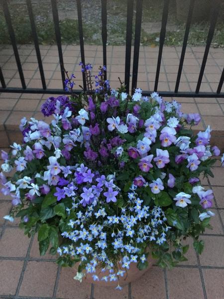 紫の花を集めました。春先の寄せ植え。  ビオラ、ラベンダー、ヒナ草、スミレ、ベルフ