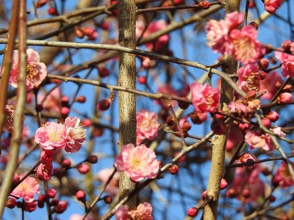 小さな公園 の 紅梅 とても香りが良かったです。
