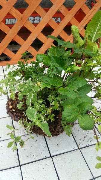 ミツバ、アシタバ、パイナップルミント、スイスチャード等夏バテ予防になる寄せ植えを作りキッチンでちょ