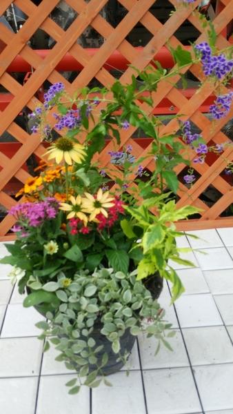 2種類のデュランタとベンケイ草の多肉植物をポイントにして寄せ植えを作りました。