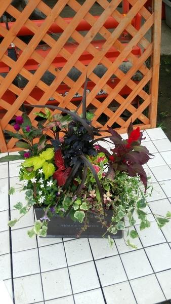 黒葉とうがらし、夏らしい赤いケイトウ,ポーチュラカ、 遊花、コリウス、フェアリースターを使い、間には