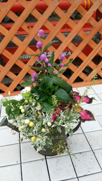 夏らしいハイビスカス、コリウス、ニチニチ草,スノーサンゴをポイントに使い、涼しさを感じる寄せ植