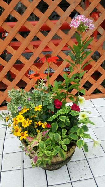 夏らしい、フロックス、エキナセア、ジニア等を使い寄せ植えを作ってみました。