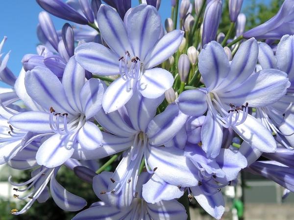 6月7月の庭の花 クレマチスアガパンサスバイカウツギ