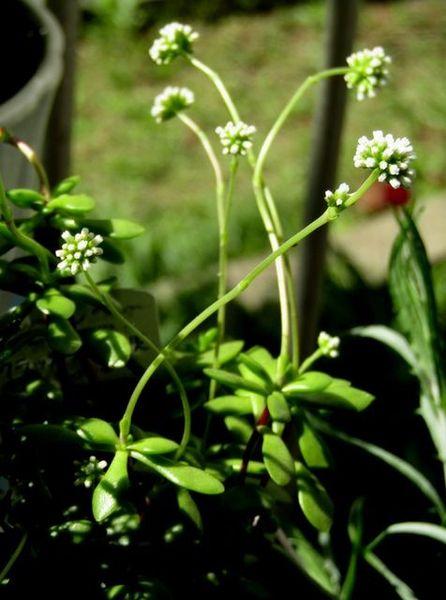 クラッスラの写真 by akari 紅稚児の花