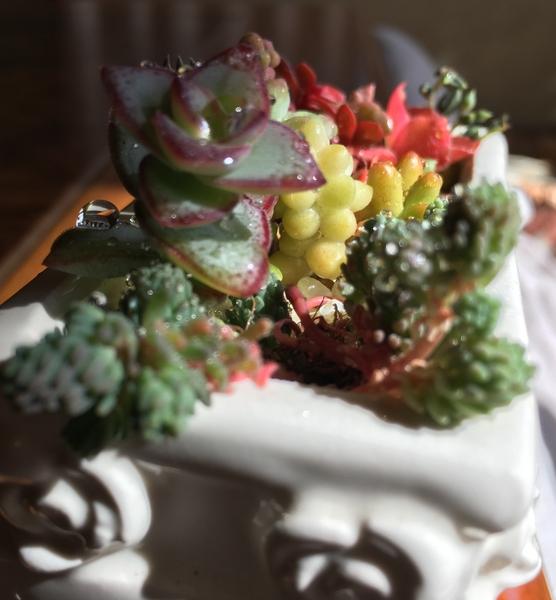 クラッスラの写真 by ロージーK 多肉植物の寄せ植え。