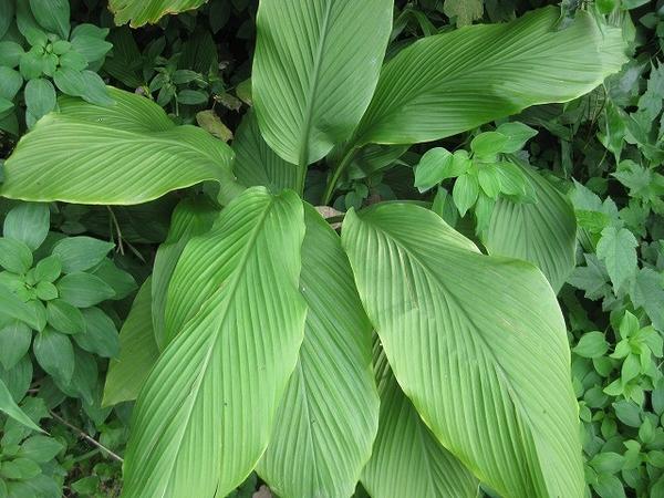ウコンの写真 by パンジャ ことしはいつまでも葉が元気