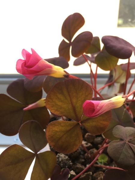 オキザリス パープルドレス  なかなか開花に至らない! でも綺麗に折り畳まれた花びら