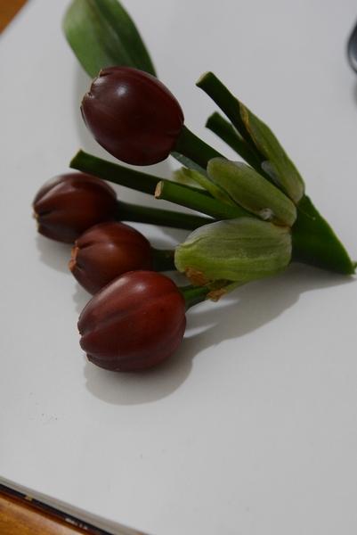 クンシランの実。 交配から10か月で熟してくる。 果皮の色が濃くなると種が熟している