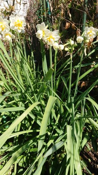 八重咲き水仙満開