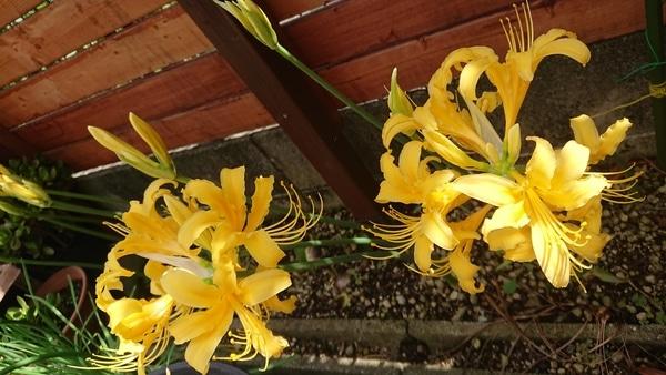 リコリス 咲き始めました😍