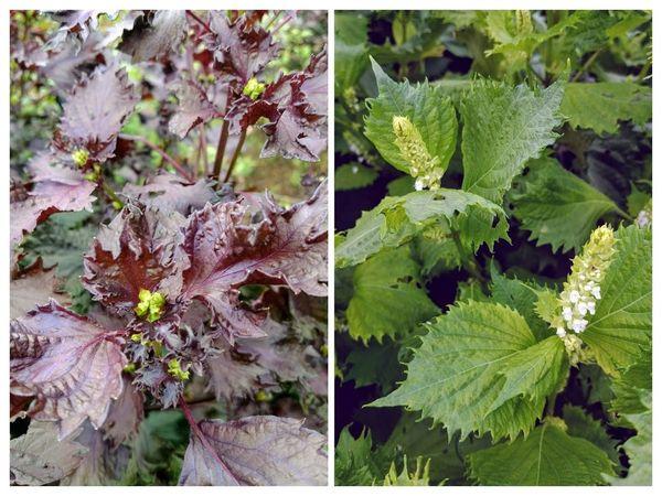 赤紫蘇と青紫蘇に花が咲き始めました。秋ですね~