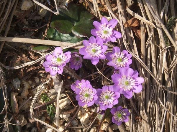 -15℃の寒冷地の露地でも育てられたユキワリソウが開花(3/15)
