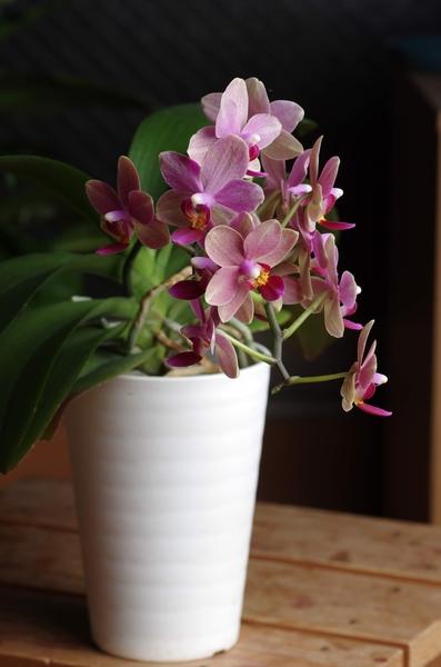 コチョウラン(胡蝶蘭)の写真 by そらまめP 胡蝶蘭が満開になりました。