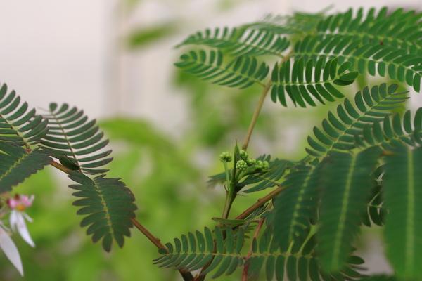 ネムノキの写真 by Nagachan ネムの木の丸い蕾がスラリとした葉っぱと  上手くシンク